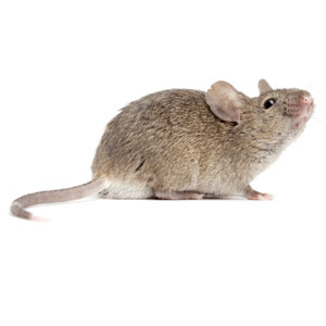 Mice pest control in Reading
