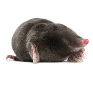 Mole pest control in Reading