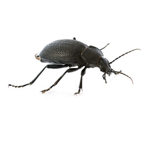 Beetles pest control in Reading