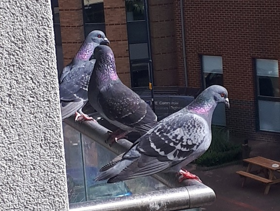 Pigeon problems in Reading