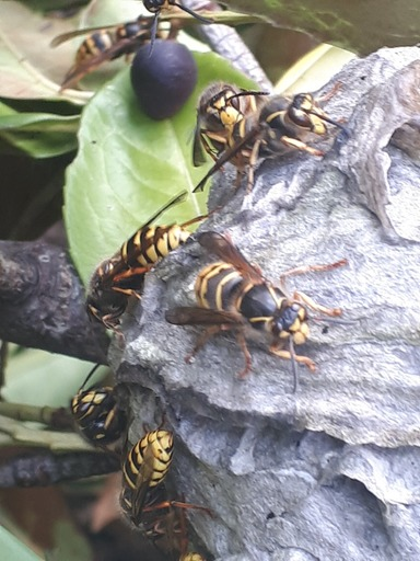 Wasps on a nest