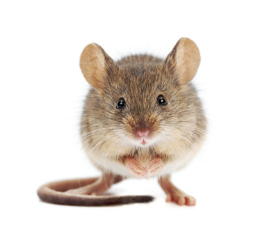 Mouse and rat pest control